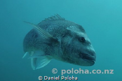 Big snapper Pagrus auratus turning around by Daniel Poloha
