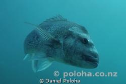 Big snapper Pagrus auratus turning around by Daniel Poloha