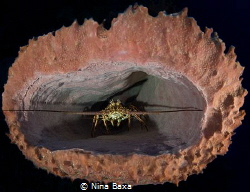 Lobster and Sponge.