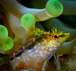 Yellow Blenny in Anemone by Steven Miller