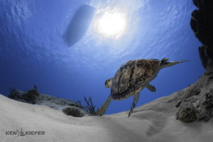 Drifting along with a brisk current, this Hawksbill turtl... by Ken Kiefer