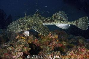 Anglerfish by Chicco Maggioni