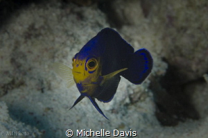 The stunningly beautiful Cherubfish by Michelle Davis