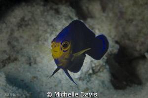 The stunningly beautiful Cherubfish by Michelle Davis