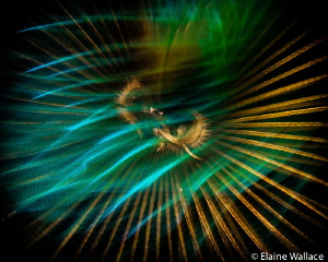 Abstract of feather duster worm, slow shutter speed and l... by Elaine Wallace