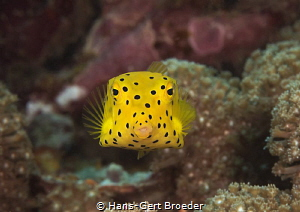 Boxfish juvenile Kisses to everybody by Hans-Gert Broeder