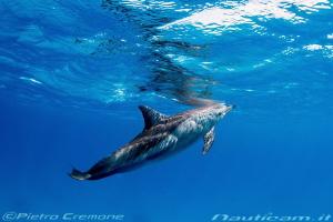 Dolphin in Sataya Reef by Pietro Cremone