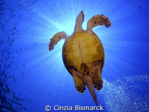 Hawksbill and the rays of sun Eretmochelys imbricata by Cinzia Bismarck