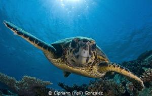 Friendly turlte by Cipriano (ripli) Gonzalez