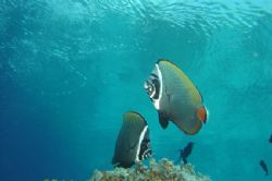butterfly fishes dancing close to surface by Alessandro Reato