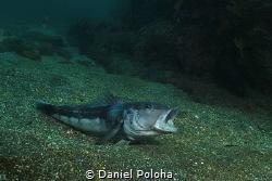Blue cod Parapercis colias yawning by Daniel Poloha