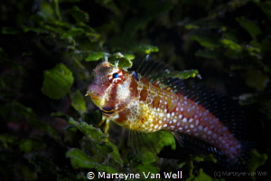 Blue eyes... A colourful blenny by Marteyne Van Well
