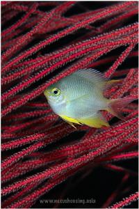 Yellow damselfish. by Gregory Sin
