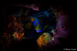 The queen of all fishes is hiding in the colorful reef of... by Markus Davids
