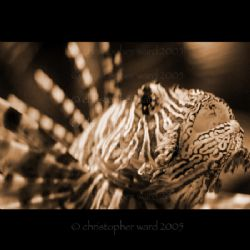 Phi Phi, Thailand. Lionfish macro, love the blurred spine... by Christopher Ward