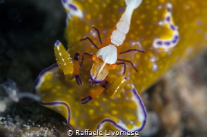 cerathosoma with emperor shrimp by Raffaele Livornese