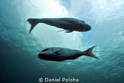 A couple of australasian snapper Pagrus auratus by Daniel Poloha