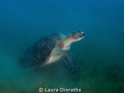 A green turtle encountered while doing a clean-up dive on... by Laura Dinraths