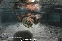 A green turtle, Chelonia Mydas in a nurserie in the Bora ... by Cangemi Paul