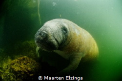 Manatee in the harbour of Florida Keys Dive Center, Taver... by Maarten Elzinga