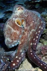 Octopoda...Saipan Grotto by Martin Dalsaso