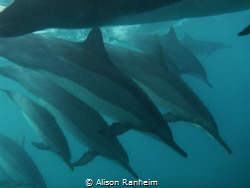 La Perouse Bay, Maui:  I barely even saw these Spinner Do... by Alison Ranheim