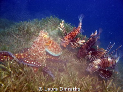 Octopus stalked by three lionfish whilst hunting on a bed... by Laura Dinraths
