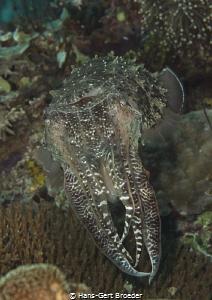 Sepia cuttlefish by Hans-Gert Broeder