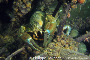Crayfishs by Philippe Brunner