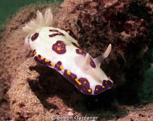 Chromodoris cazae