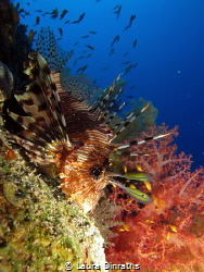 A common lionfish (Pterois volitans)and soft corals on a ... by Laura Dinraths
