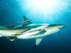 Oceanic Blacktip shark by Jenny Strömvoll
