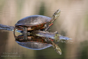Western Painted Turtle sunning. by Richard Goluch