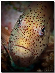 Blackside hawkfish (Paracirrhites forsteri), Bodu Gaa, He... by Reinhard Arndt