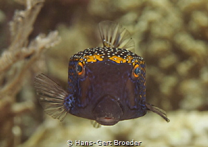 Boxfish Kisses to everybody by Hans-Gert Broeder