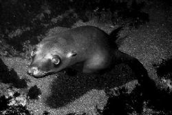 Underwater puppy dog, aka sea lion. Lobster Shack, Corona... by Dallas Poore