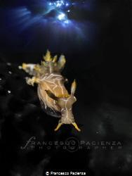 [:b:]Trapania maculata[:/b:] by Francesco Pacienza