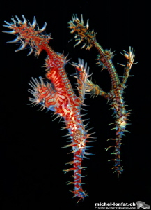 Ghost Pipefishes by Michel Lonfat
