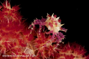 Soft Coral crab silhouetted against a dark background rea... by Rick Cavanaugh