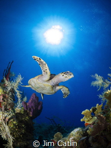Hawksbill turtle at Cobalt Coast, Grand Cayman by Jim Catlin