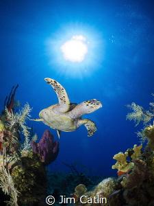 Hawksbill turtle at Cobalt Coast, Grand Cayman by Jim Catlin
