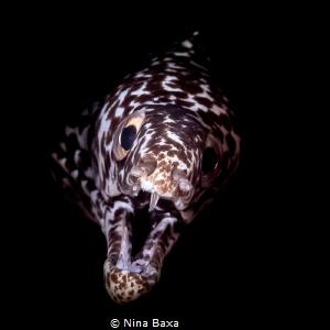 Dramatic Entrance! Gymnothorax moringa - Spotted Moray E... by Nina Baxa