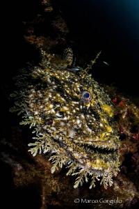 Mediterranean Anglerfish, new shots by Marco Gargiulo