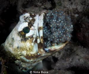 Refresh. Mouthbrooding Banded Jawfish. Olympus E-PL3, 1... by Nina Baxa