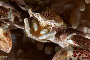 Porcelein crab's face details. No crop. by Mehmet Salih Bilal
