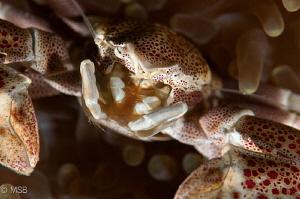 Porcelein crab's face details. No crop. by Mehmet Salih Bilal