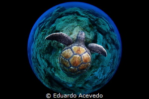 Green turtle by Eduardo Acevedo