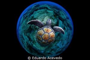 Green turtle by Eduardo Acevedo