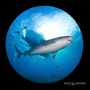 Emma, a large tiger shark cruises beneath the dive boat, ... by Ken Kiefer