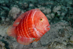 Ascension Island Marmalade Razorfish by Paul Colley